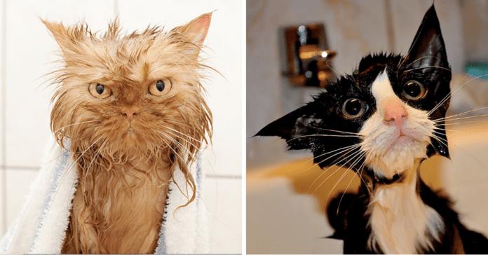 våte-katter-dyr
