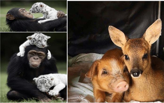 uvanlige-vennskap-dyr